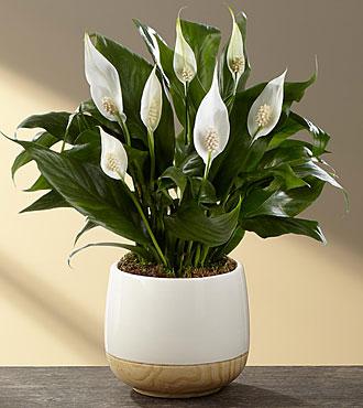 indoor plants, toxic indoor plant