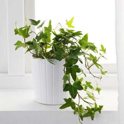 indoor plant, toxic indoor plant